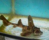 ネコザメ(Mサイズ)35〜40