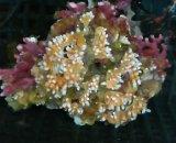 八放サンゴ亜網(サンゴモドキ土台約7センチ前後)