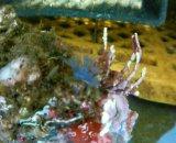 L・W・L・・ウミイチゴ(ブルー)、ウミイチゴ(キャラメル)土台付き