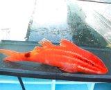 オキナヒメジ(MLサイズ)