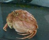 深海性珍種・・マルミカラッパ(甲幅6センチ前後)