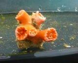 シロバナキサンゴ(約4センチ前後)