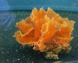 ミサキアミコケムシ01(約5センチ前後)