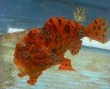 カエルアンコウ(約12センチ)赤橙系