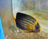 キンチャクダイ(Sサイズ)幼魚模様変化中サイズ
