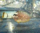 ミヤコテングハギ幼魚