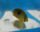 トノサマダイ 幼魚