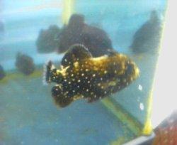 画像4: アミモンガラ 幼魚