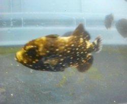 画像2: アミモンガラ 幼魚