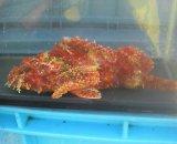 オニカサゴ 赤系(MLサイズ)20