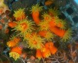 エントウキサンゴ(Lサイズ)