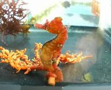 ハナタツ幼魚(国産ブリード、赤系)雄個体