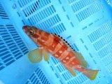 アカハタ幼魚(3980→2980)