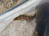 ニシキベラ 幼魚