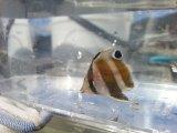 ゲンロクダイ 幼魚