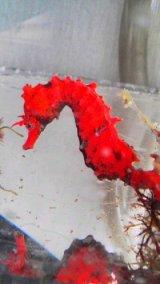 ハナタツ(ワイルド個体)・・・赤発色強
