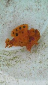 ☆☆☆送料無料・・オオモンカエルアンコウ(黄橙色)・・綺麗で、良い個体です