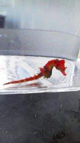 ☆☆ハナタツレッド幼魚(ワイルド個体)・・赤くなります!お勧め