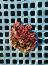サンゴモドキ(8センチ前後)