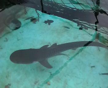 イタチザメの画像 p1_10