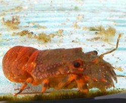 画像1: 《近海産甲殻類》ヒメセミエビ(フリーサイズ)1匹…当店ハンドコート採取