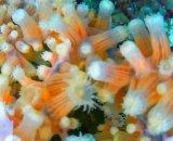 《近海産海洋生物》ヤギセンナリスナギンチャク(フリーサイズ)・・人気のピンク