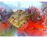 《近海産海水魚》アミメハギ幼魚の2匹セット…当店ハンドコート採取