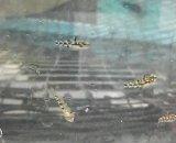 《近海産》ゴマハゼの20匹セット…当店ハンドコート採取(小型水槽で飼育可能)