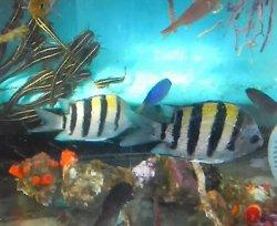 画像3: 《近海産海水魚》オヤビッチャ(S)1匹…当店ハンドコート採取