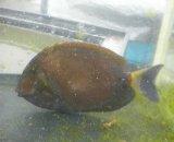 ニセカンランハギ(Sサイズ)12