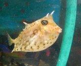 《近海産海水魚》ウミスズメ‥近海ハンドコート採取