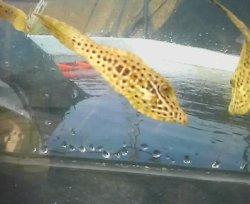 画像2: 《近海産海水魚》ソウシハギ(Lサイズ)‥ハンドコート採取