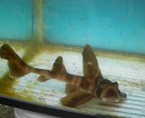《近海産海水魚》35ネコザメ(SMサイズ)1匹・・ハンドコート採取