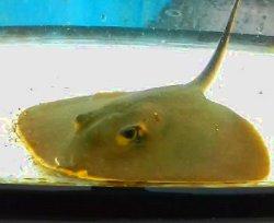 画像3: 《近海産海水魚》アカエイ幼魚…ハンドコート採取