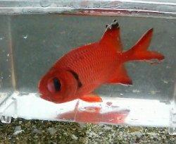 画像2: アカマツカサ幼魚(5センチ±)・・スーパーセール
