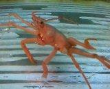 フクレヒラホモラ(歩足欠損個体)