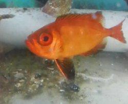 画像3: キビレキントキ幼魚