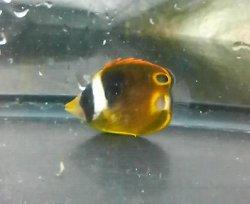 画像2: チョウハン幼魚