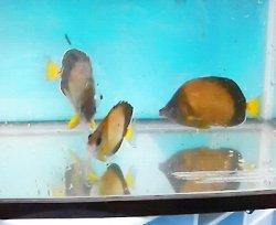 画像1: 《近海産海水魚》☆★シラコダイの2匹セット…ハンドコート採取