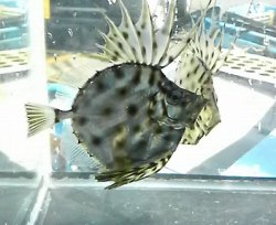 画像2: カガミダイ・・幼魚