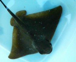 画像3: 《近海産海水魚》トビエイ…ハンドコート採取