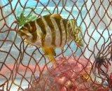 タカノハダイ幼魚