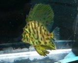テングダイ幼魚(冷凍、7センチ前後)