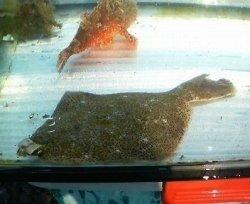 画像2: 《近海産海水魚》メイタガレイ…ハンドコート採取