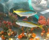 《近海産海水魚》タカベ幼魚(1匹)…当店ハンドコート採取