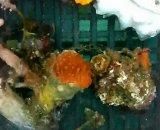 ウチウラタコアシサンゴ ベビー