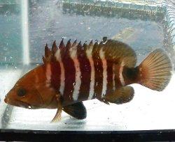 画像2: マハタ幼魚