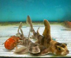 画像2: 《近海産》ネコザメ(SMサイズ)1匹・・ハンドコート採取