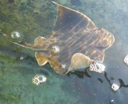 画像4: 《近海産海水魚》トビエイ…ハンドコート採取