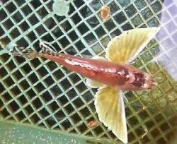 画像1: ハチ幼魚